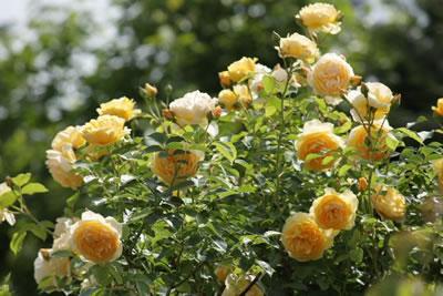 planten_maart_rozen
